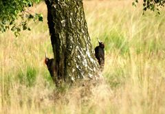 Schwarzspechte (Dryocopus martius)....