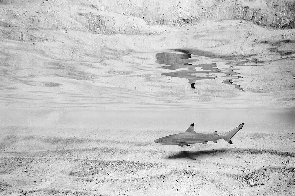 * Schwarzspitzen-Riffhai *