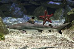 Schwarzspitzenriffhai