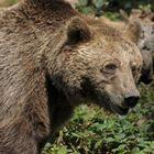 Schwarzwaldbär