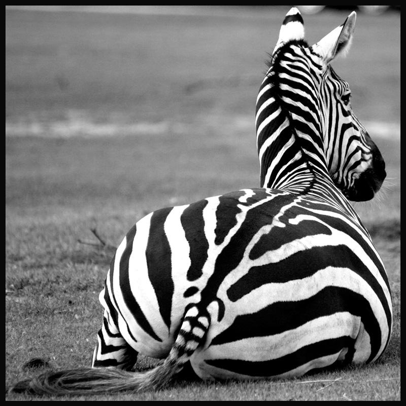 schwarz wei foto bild tiere zoo wildpark falknerei s ugetiere bilder auf fotocommunity. Black Bedroom Furniture Sets. Home Design Ideas