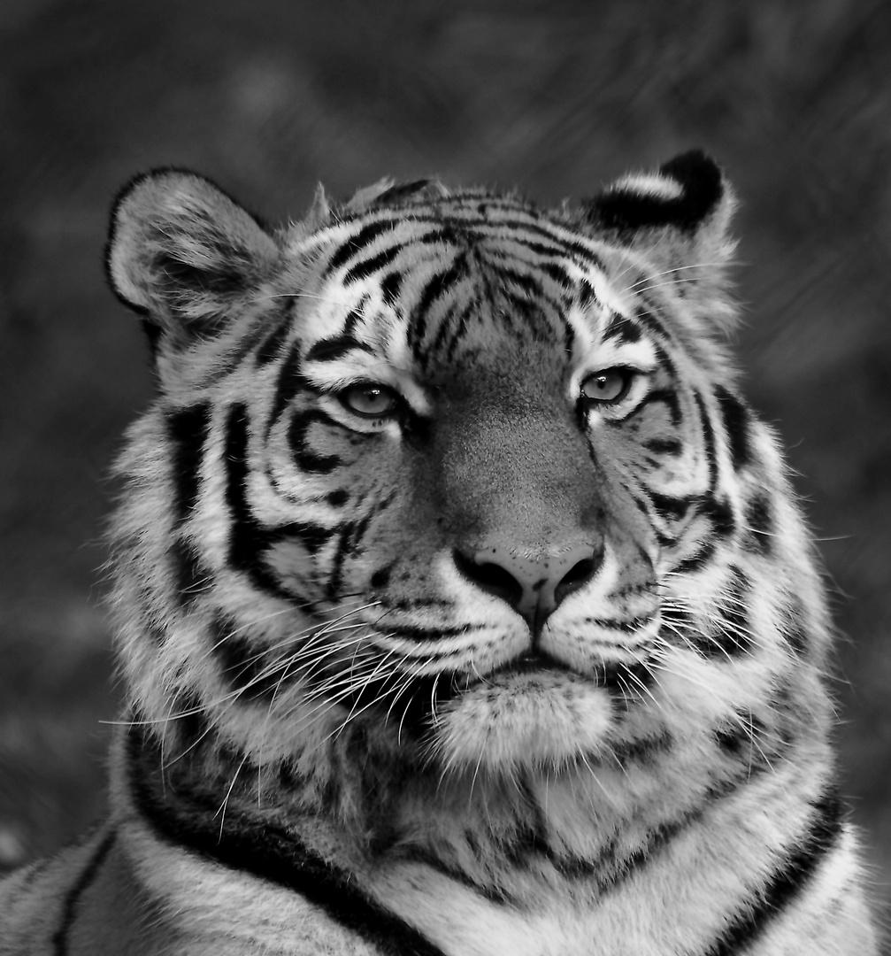 schwarz wei portrait foto bild tiere zoo wildpark falknerei s ugetiere bilder auf. Black Bedroom Furniture Sets. Home Design Ideas