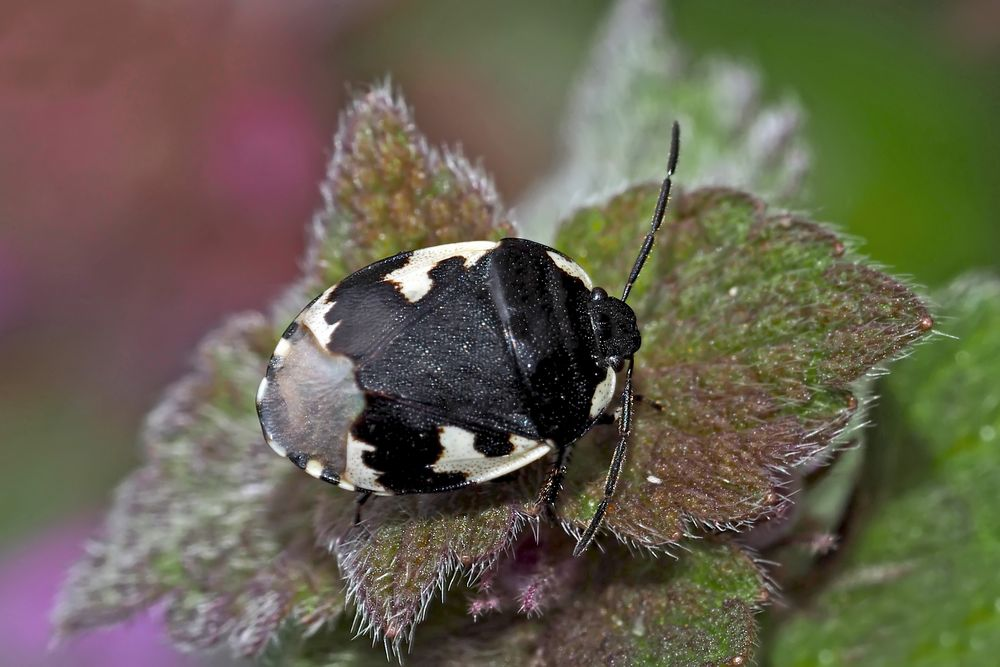 Schwarzweiße Erdwanze (Tritomegas bicolor) - Une punaise sur sa plante préférée!