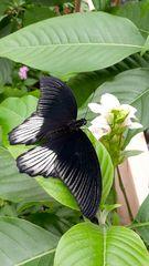 schwarzweißer Schmetterling
