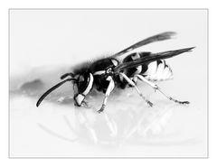 SchwarzWeißes [1] Die Wespe