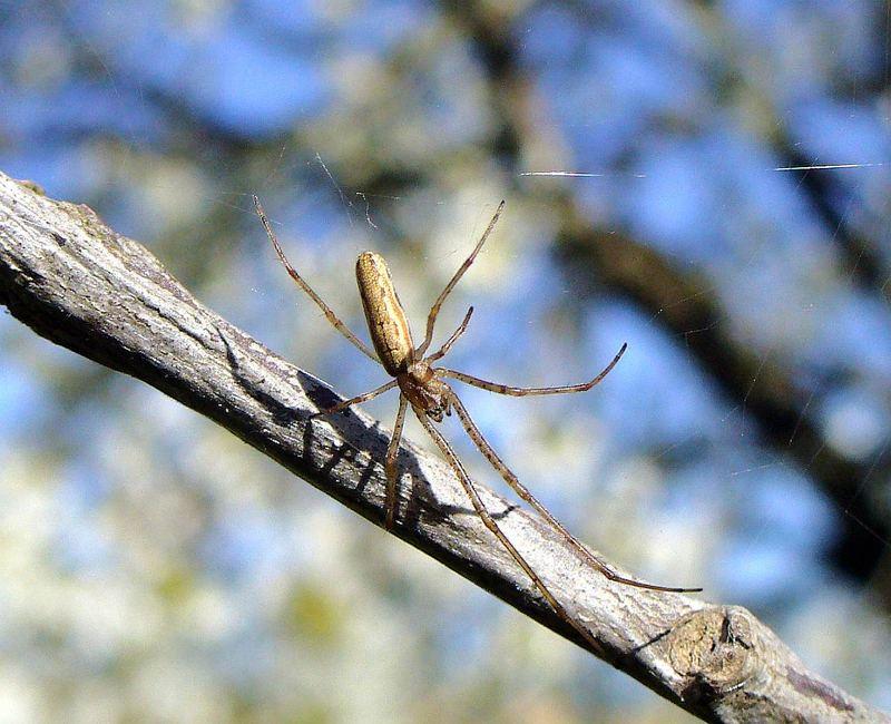 Schwebe-Spinne