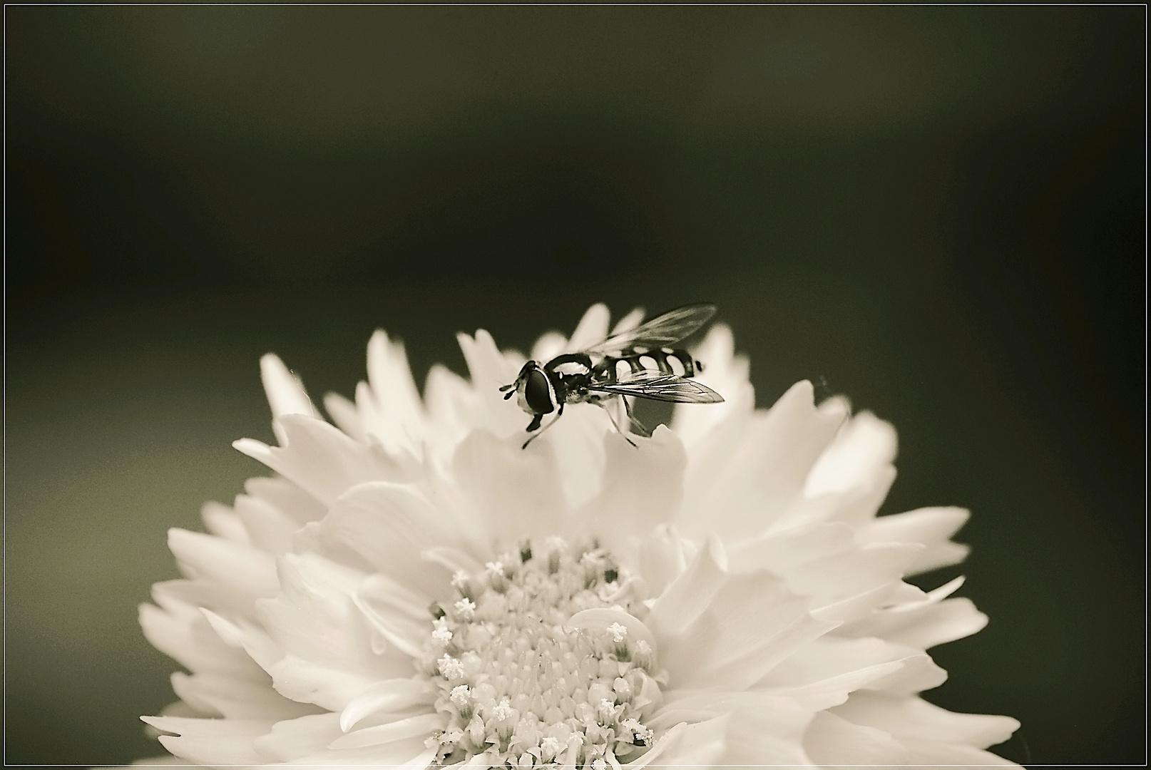 Schwebefliege auf Strohblume