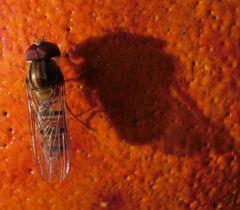 Schwebe~Fliege