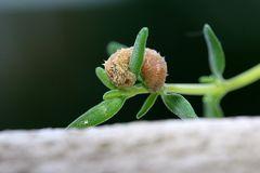 Schwebefliegenlarve
