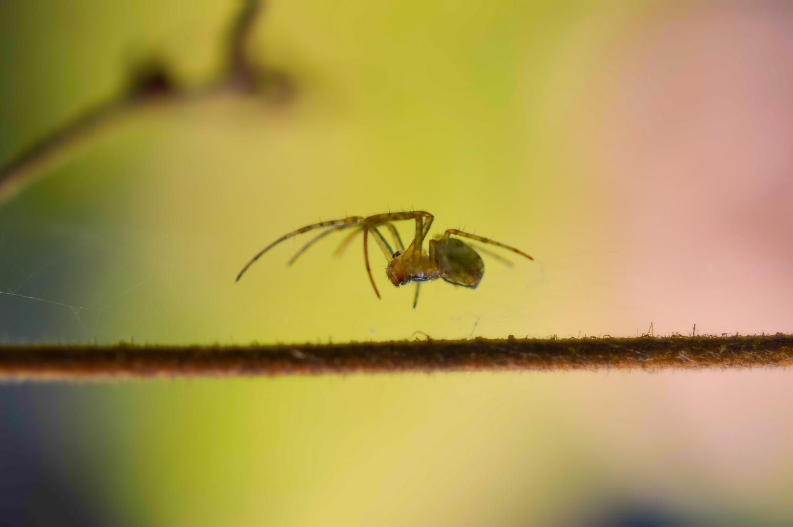 Schwebende Spinne