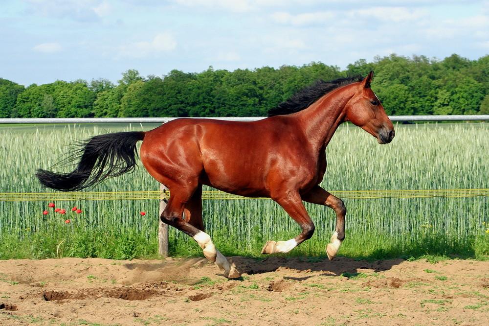Pferd Will Nicht Galoppieren