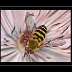 Schwebfliege auf einer Clematisblüte