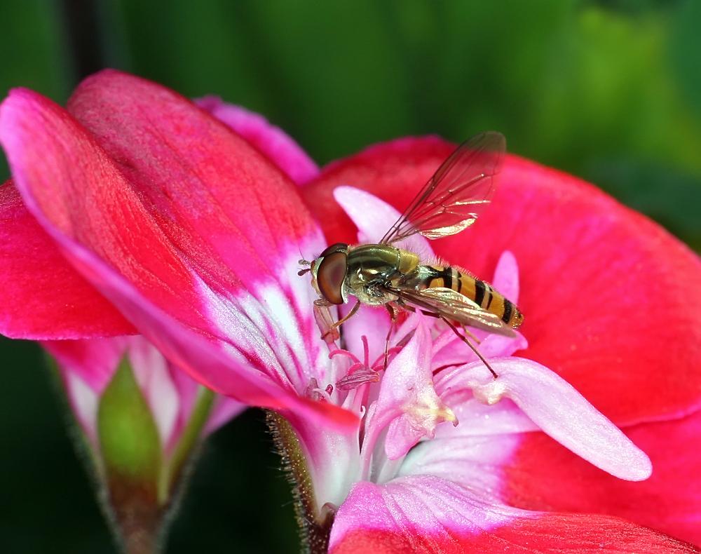 Schwebfliege auf Geranienblüte