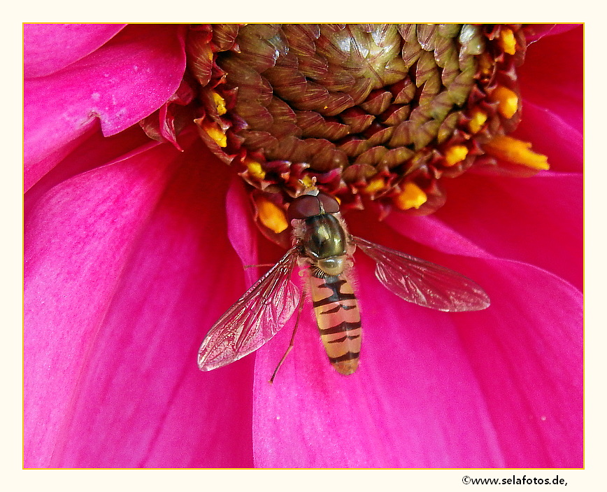 Schwebfliege in der Blüte