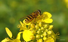 Schwebfliege in gelb blühendem Herbstfeld