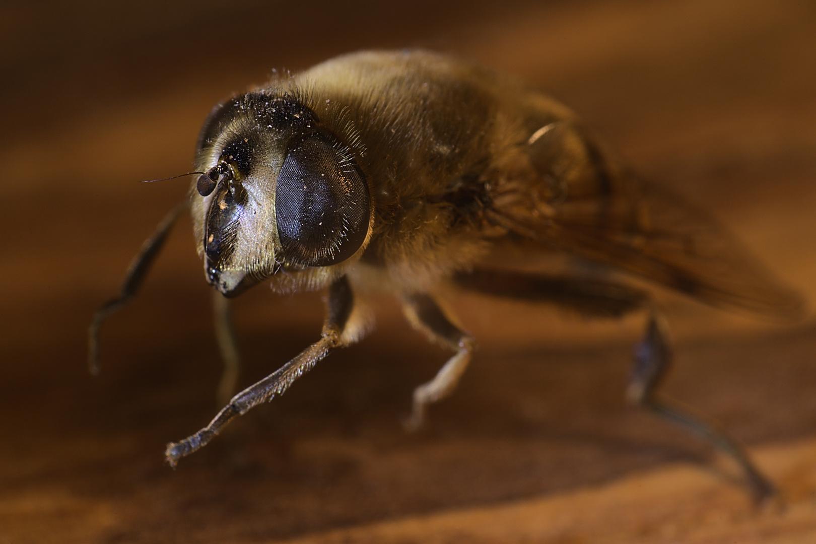 Schwebfliege - Mistbiene_2
