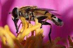 Schwebfliege (Syrphidae) bei der Nektarsuche
