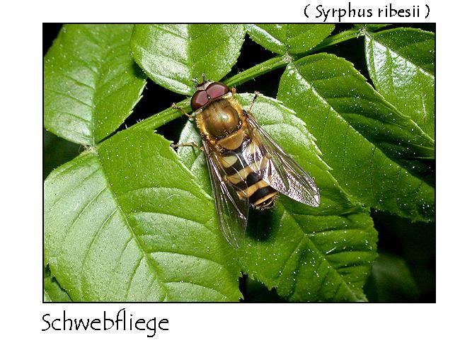 Schwebfliege - Syrphus ribesii