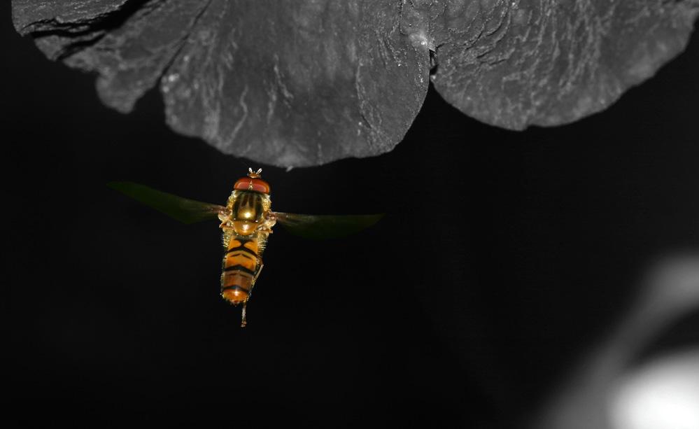 Schwebfliege01..Sie haben Landeerlaubnis auf Blüte2