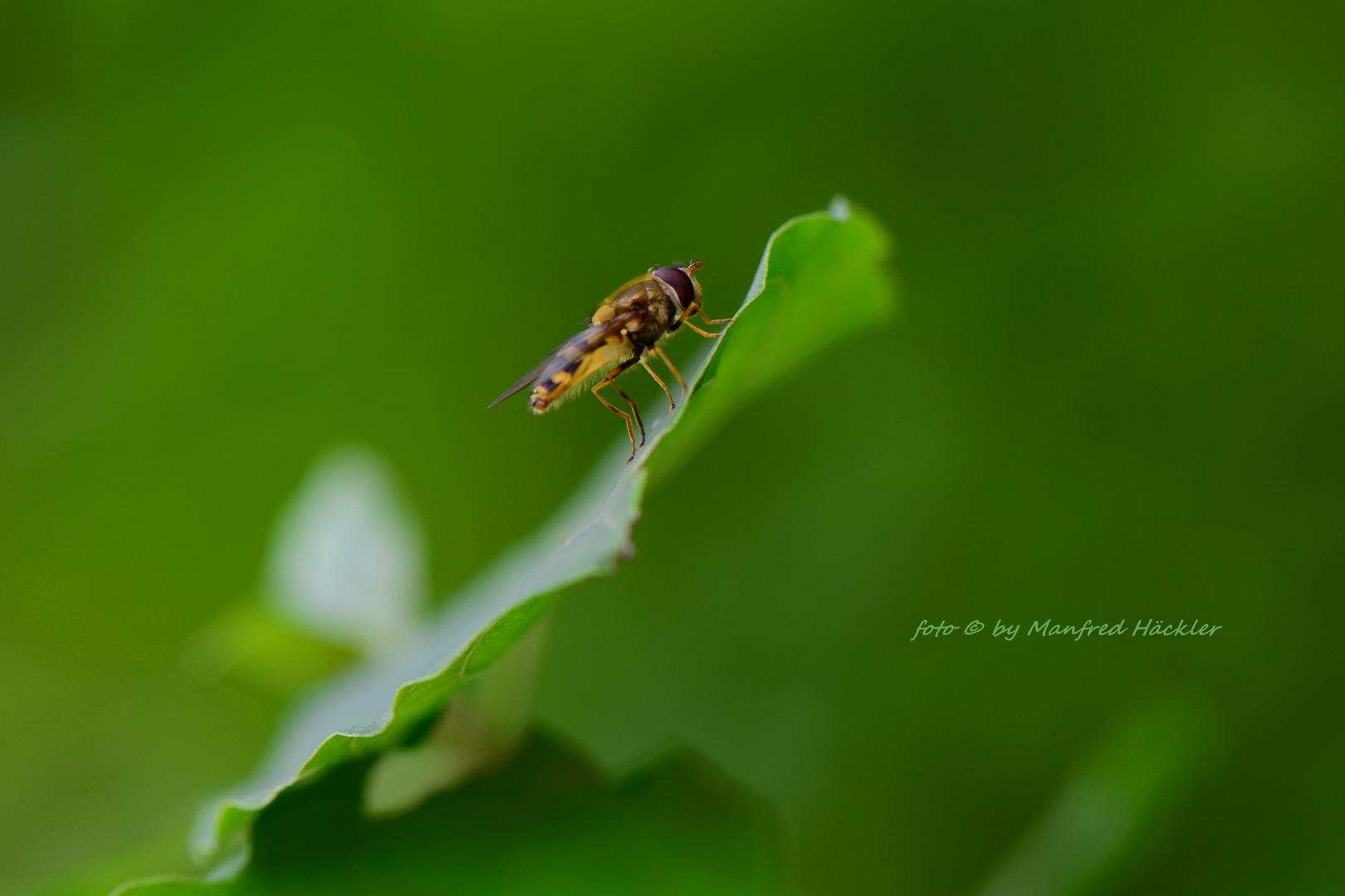 Schwebfliegen 2
