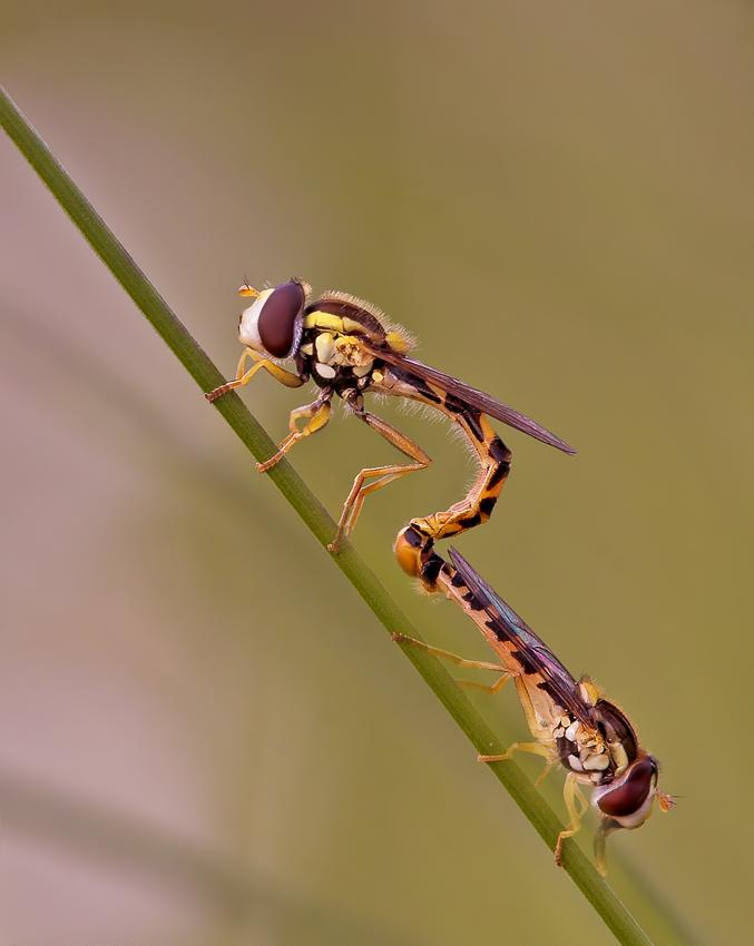Schwebfliegen