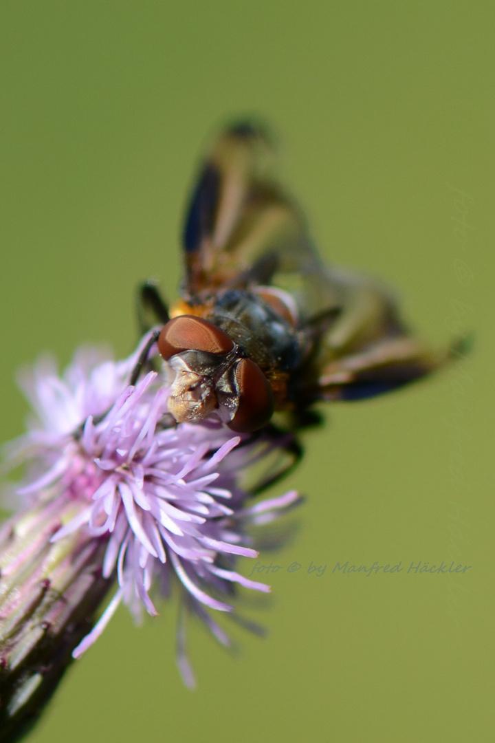 Schwebfliegen 4