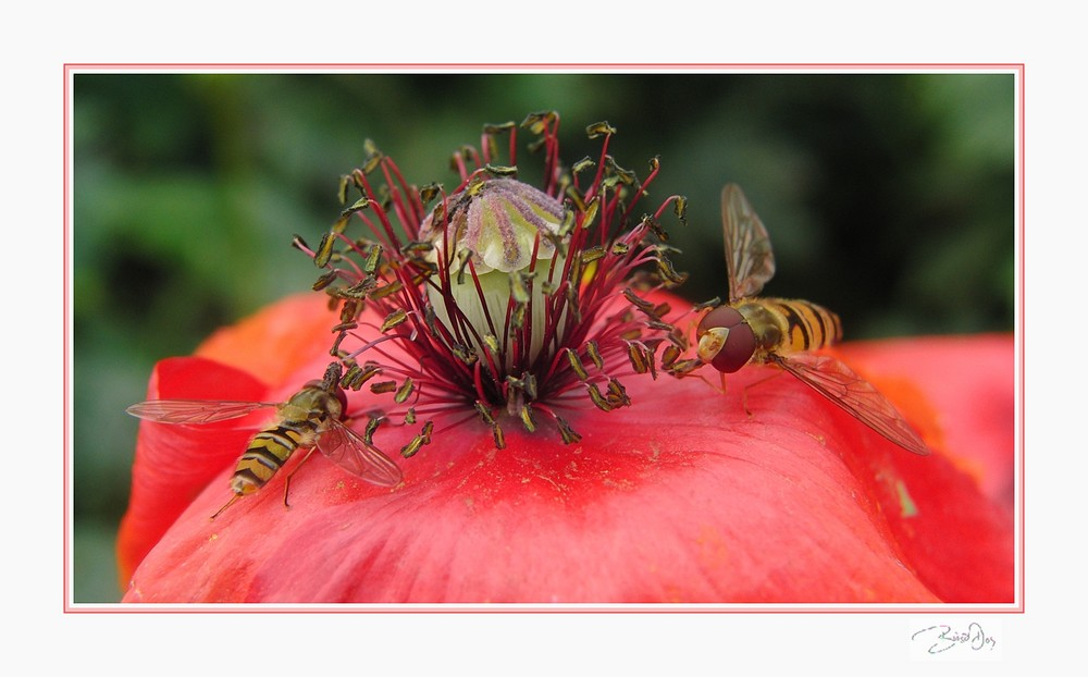 Schwebfliegen auf Nahrungssuche