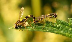 Schwebfliegen bei der Paarung