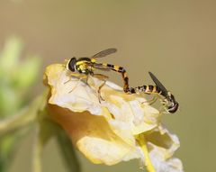 Schwebfliegen beim Nickerchen