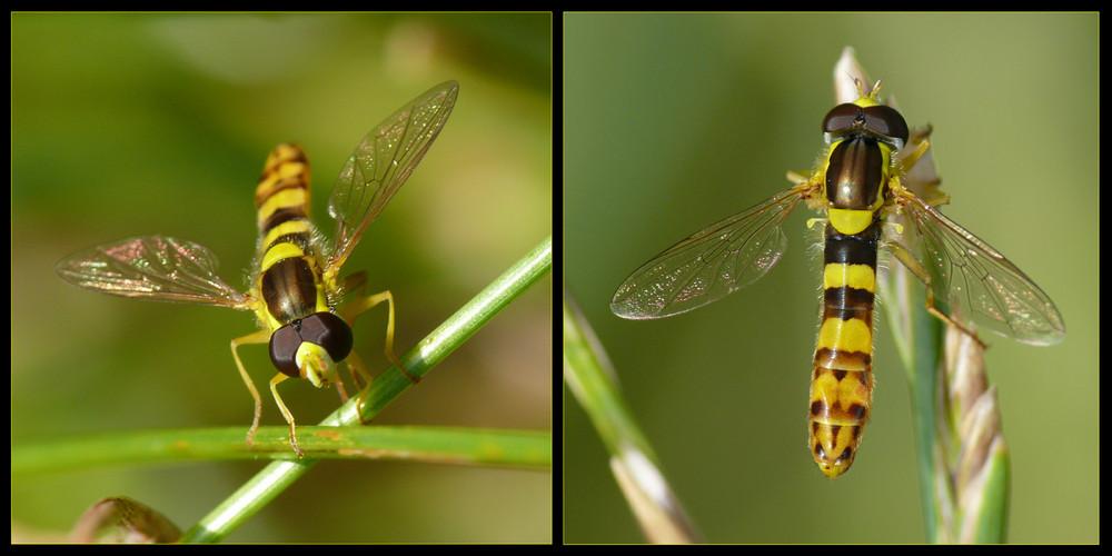 Schwebfliegen-Collage