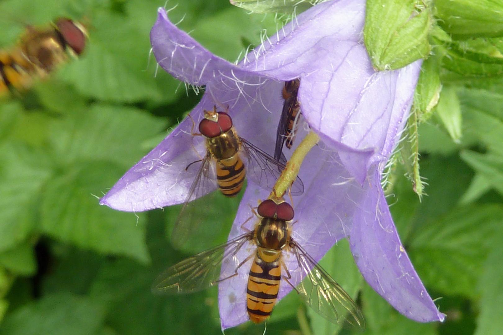 Schwebfliegen - noch mehr Sommer
