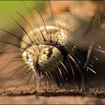 Schwebfliegen-Popo