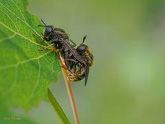 Schwebfliegenpaarung - Microdon devius