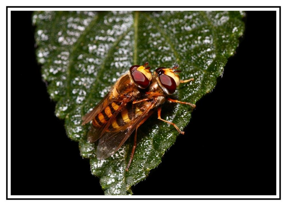 Schwebfliegensex