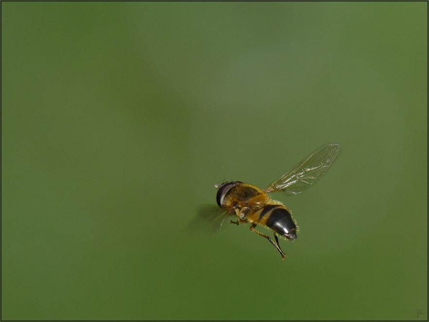 schwebfliegenshooting...