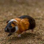 Schwebschweinchen