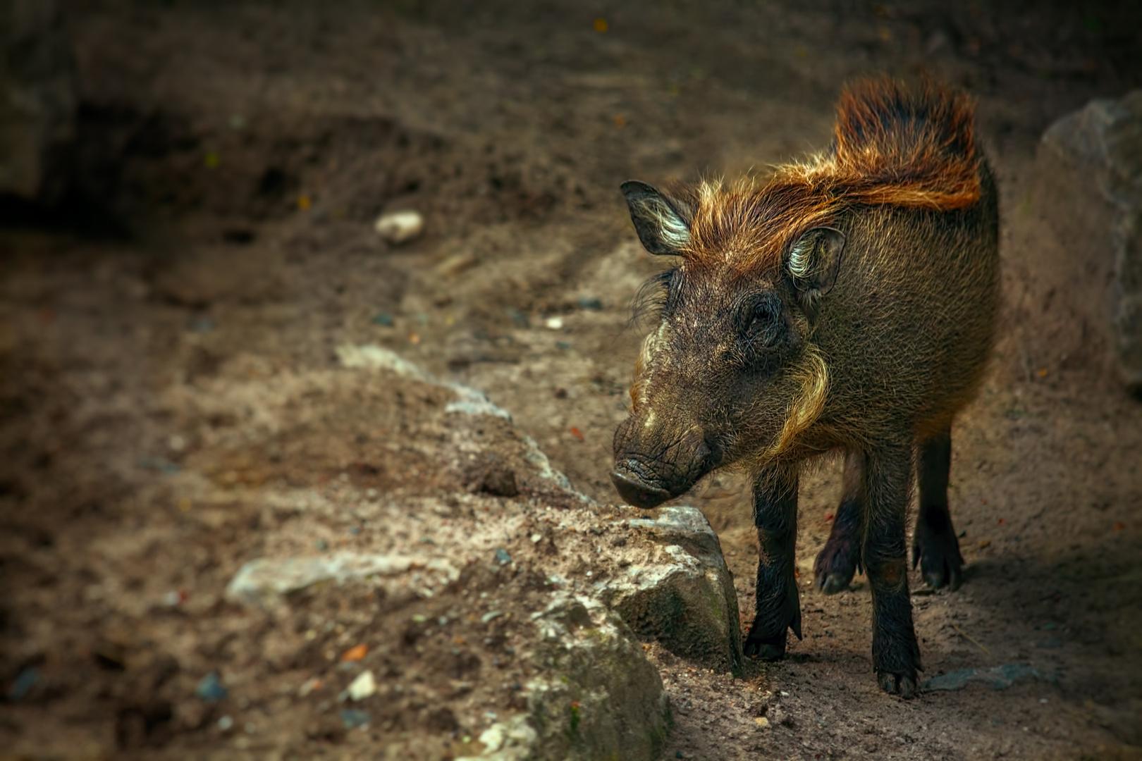 Schwein!