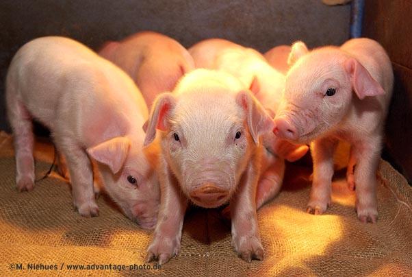 Schwein gehabt ...