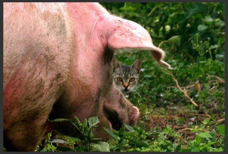 schwein mit katze