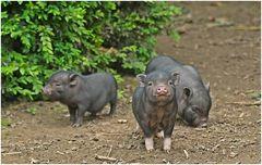 Schweinchen dreifach