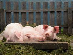 Schweinchen gut gebettet