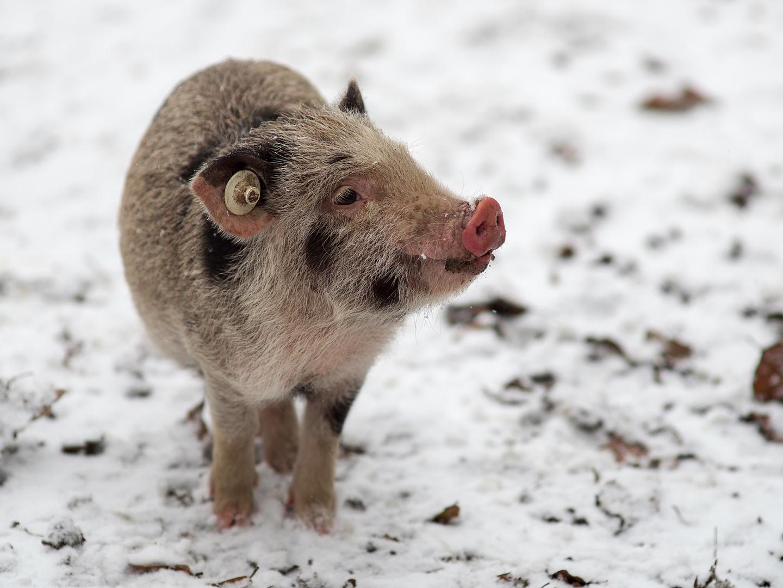 Schweinchen im Schnee