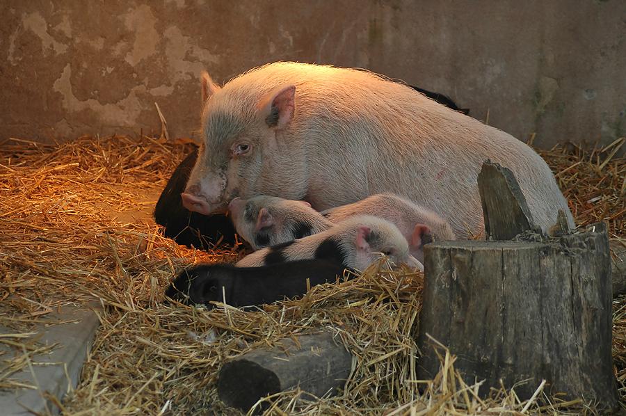 Schweinchengekuschel