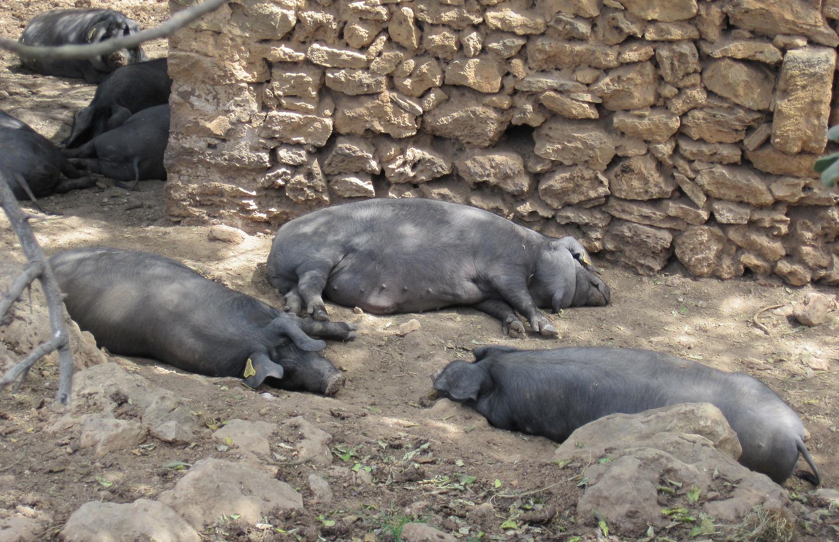 Schweine beim Mittagsschlaf
