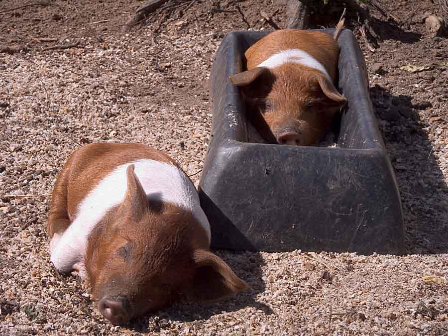 Schweine im Welt-Traum