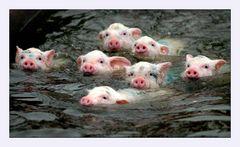 Schweine machen das Seepferdchen