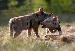 Schweine spaßig