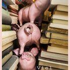 """""""Schweine zwischen Büchern"""""""