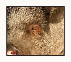 Schweineauge