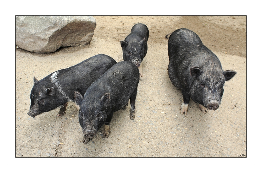 Schweinebande!
